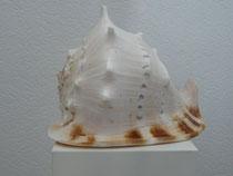 Cassis cornuta, Oberseite, 35 cm