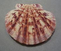 annachlamys macassarensis, 7 cm