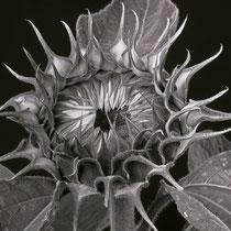 Sonneblume sw