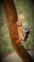 Schmetterling Wanderstab Holz