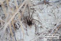 Schwarzbäuchige Tarantel (Hogna radiata) mit Jungen auf dem Rücken, die beginnen, abzusteigen
