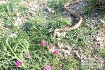 Leopardnatter (Zamenis situla), Insel Pag, Kroatien.