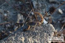 Gelber Skorpion (Mesobuthus gibbosus)
