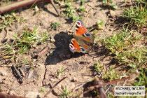 Tagpfauenauge (Inachis io), fotografiert südlich von Colmar, Frankreich, Mitte März