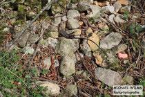 Aspisviper (Vipera aspis), orangenes Männchen versucht, sich der Paarungsgruppe aus 2 Männchen und 1 Weibchen anzunähern