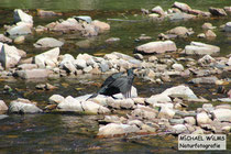 Kormoran (Phalacrocorax carbo) an der Nahe