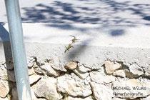 Mauereidechsen (Podarcis muralis) beim Werben, Männchen beißt das Weibchen in den Schwanz