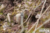Kletternde Schlingnatter bzw. Glattnatter (Coronella austriaca).