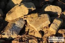 Ödlandschrecke (Oedipoda sp.)