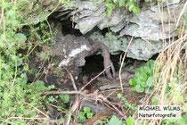 Typische natürliche HÖhle, die von der Äskulapnatter (Zamenis longissimus) und der Schlingnatter (Coronella austriaca) zur Überwinterung genutzt werden kann, bei Schlangenbad (Hessen)