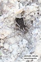 Schwarzbäuchige Tarantel (Hogna radiata) mit Jungen auf dem Rücken