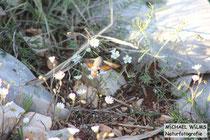 Taubenschwänzchen (Macroglossum stellatarum), fotografiert in Kroatien April / Mai
