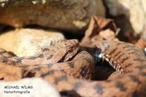 Aspisviper (Vipera aspis), Männchen