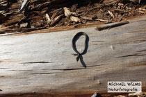 Schlingnatter (Coronella austriaca), Baby (wenige Tage alt)