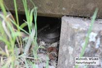 Schlingnatter (Coronella austriaca), subadult, versteckt in einer Mauerritze, bei Schlangenbad (Hessen)