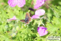 Kleine Sonnenröschen-Bläuling (Aricia agestis), Trockenrasen südlich von Colmar, Elsaß