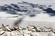 Mauereidechsen (Podarcis muralis) beim Werben