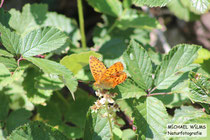 Perlmuttfalter (Argynnis sp.), Nahetal, Mitte Juni