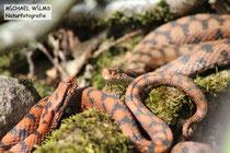Aspisviper (Vipera aspis), orangenes und ein normal gefärbtes Männchen rivalisieren um das Weibchen