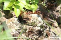 Aspisviper (Vipera aspis), adult