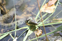 Schwimmende Ringelnatter / Barrenringelnatter (Natrix natrix helvetica).
