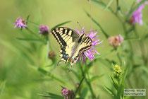 Schwalbenschwanz (Papilio machaon) bei Büchelberg, Südpfalz