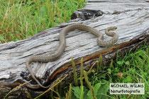 Schlingnatter (Coronella austriaca), Weibchen adult, bei Schlangenbad (Hessen)
