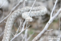 Hornotter (Viper ammodytes), Männchen, Paklenica, Velebit, Kroatien.