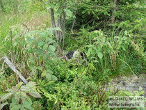 Kreuzotter (Vipera berus), melanistisches Exemplar in seinem Habitat, Nordschwarzwald.