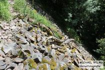 Habitat der Aspisviper (Vipera aspis) im Südschwarzwald