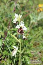 Orchidee aus der Gattung der Ragwurzen (Ophrys ssp.)
