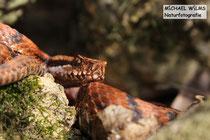 Orangene (rote) Aspisviper (Vipera aspis), Männchen, Elsaß, Frankreich.