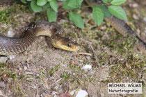 Äskulapnatter (Zamenis longissimus), adult, bei Schlangenbad (Hessen)