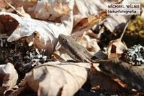 Apsisviper (Vipera aspis), 1. braunes Weibchen