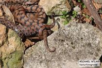 Aspisviper (Vipera aspis), Paarungsakt (Umklammerung des Schwanzes des Weibchens durch ein Männchen)