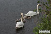 Höckerschwan (Cygnus olor) Familie an der Nahe
