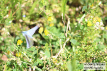 Hauhechel-Bläuling oder Gemeiner Bläuling (Polyommatus icarus)
