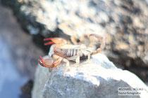Europäischer Skorpion in Kroatien (Euscorpius sp.)