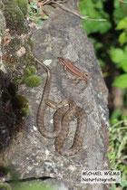 Würfelnatter (Natrix tesselata) und Mauereidechse (Podarcis muralis) gemeinsam beim Sonnen.
