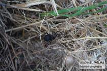 Schwarze Witwe (Latrodectus tredecimguttatus)