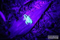 Europäischer Skorpion in Kroatien unter UV Licht (Euscorpius sp.)