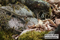 Mauereidechse (Podarcis muralis) mit erbeuteter Wespe
