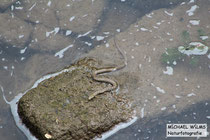 Würfelnatter (Natrix tesselata), juvenil