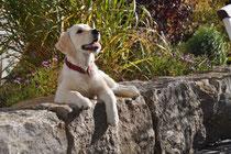 Sam ein wunderschönes Hundemädchen