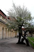 Blühender Baum vor der Großen Orangerie Schloss Charlottenburg. Foto: Helga Karl
