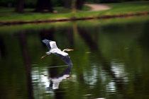 Fliegender Reiher über dem See im Schlossgarten Charlottenburg. Foto: Helga Karl