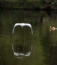 Reiher fliegt über den Karpfenteich. Foto: Helga Karl