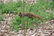 Springendes Eichhörnchen über den Waldboden im Schlosspark Charlottenburg. Foto: Helga Karl