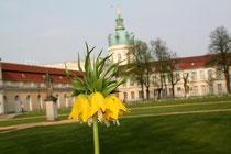 Blühende gelbe Kaiserkrone vor dem Schloss Charlottenburg, Große Orangerie. Foto: Helga Karl