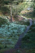 Ein Pfad durch die Ålbek Klitplantage
